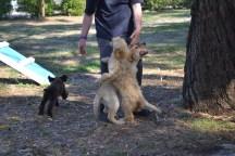 Banksia Park Puppies Bailey