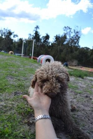 Banksia Park Puppies Ayasha - 19 of 36