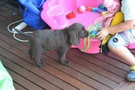 Banksia Park Puppies Bailey a