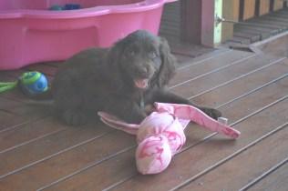 Banksia Park Puppies Bailey d
