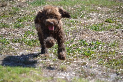 Banksia Park Puppies Bradey - 1 of 8 (6)
