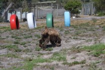 Banksia Park Puppies Bridey - 1 of 16 (15)