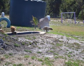 Banksia Park Puppies Brutus - 1 of 20 (17)