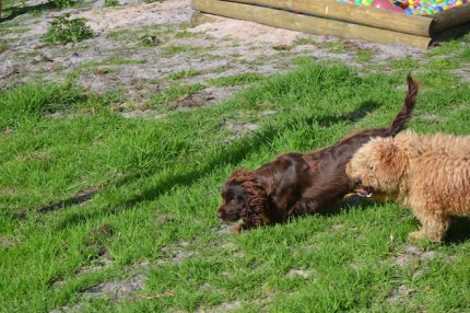 Banksia Park Puppies Brutus - 12 of 14