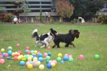 Banksia Park Puppies Dexter