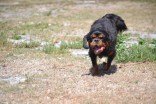 Banksia Park Puppies Dexter 4