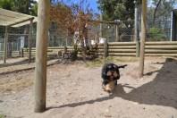 Banksia Park Puppies Ding