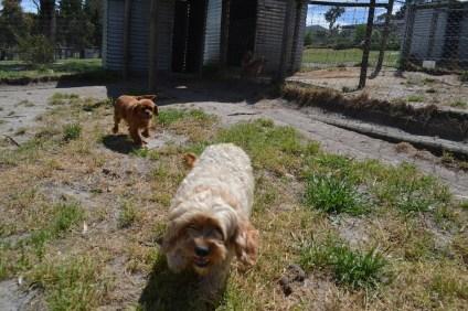 Banksia Park Puppies Giget