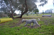 banksia-park-puppies-jack-3-of-11