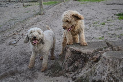 Banksia Park Puppies Kiki and Brutus - 3