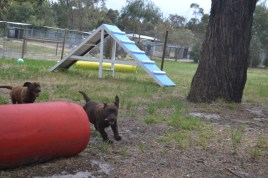 Banksia Park Puppy Mishka