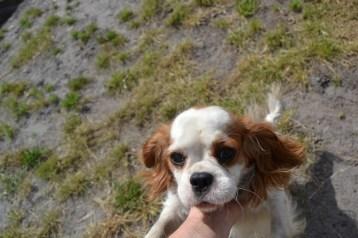 Banksia Park Puppies Oddball