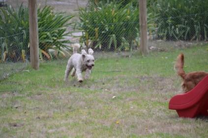Banksia Park Puppies Ollie