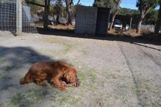 Banksia Park Puppies Ravi Lance - 21 of 47