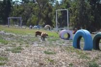 Banksia Park Puppies Sami - 1 of 15 (12)