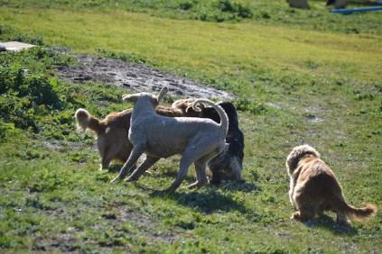Banksia Park Puppies Sami - 1 of 36