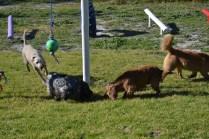 Banksia Park Puppies Sami - 8 of 36