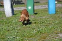 Banksia Park Puppies Sami - 9 of 36