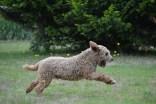 Banksia Park Puppies Skeeter