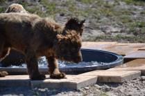 Banksia Park Puppies Wahinda - 1 of 7 (5)