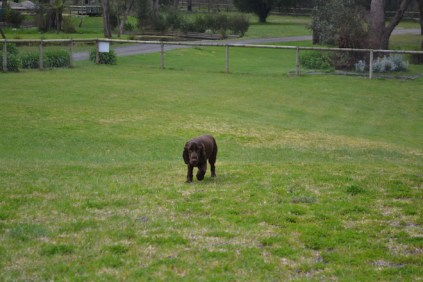 banksia-park-puppies-wanika-39-of-83