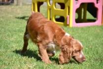 Banksia Park Puppies Whatsit