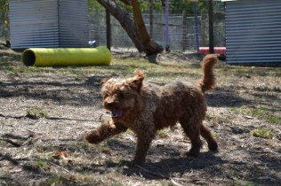 Banksia Park Puppies_Blue
