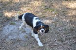 Banksia Park Puppies_Lucky