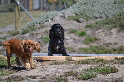 Banksia Park Pupppies Hermione - 1 of 6 (2)