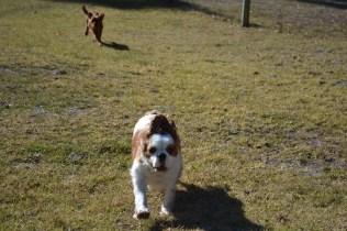 Oddball- Banksia Park Puppies - 13 of 33
