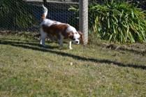 Oddball- Banksia Park Puppies - 20 of 33
