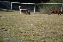 Oddball- Banksia Park Puppies - 27 of 33