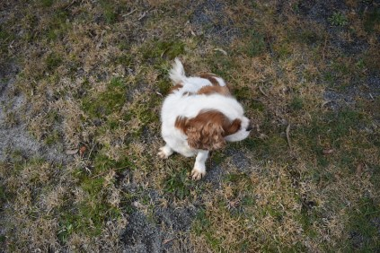 Sylvie-Cavalier-Banksia Park Puppies - 22 of 27