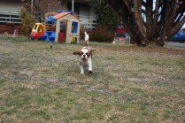 Sylvie-Cavalier-Banksia Park Puppies - 9 of 27
