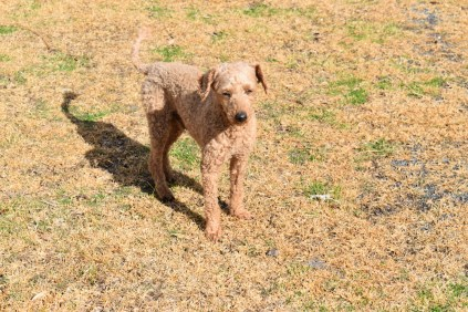 Tobasco-Poodle-Banksia Park Puppies - 2 of 80