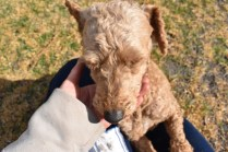 Tobasco-Poodle-Banksia Park Puppies - 4 of 80