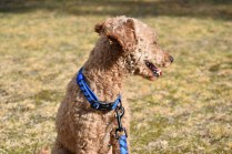 Tobasco-Poodle-Banksia Park Puppies - 47 of 80
