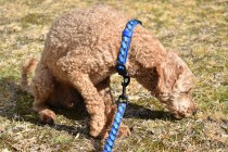Tobasco-Poodle-Banksia Park Puppies - 48 of 80