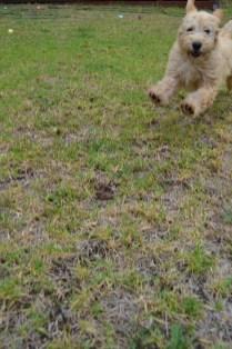 Banksia Park Puppies Aino