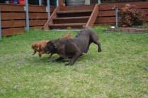 Banksia Park Puppies Hala - 2 of 31