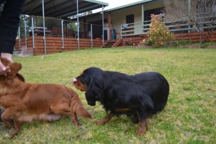 Banksia Park Puppies Hala - 29 of 31