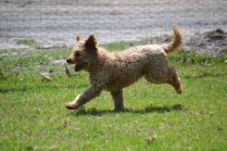 Banksia Park Puppies Kingston