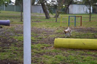 banksia-park-puppies-missy-14-of-40