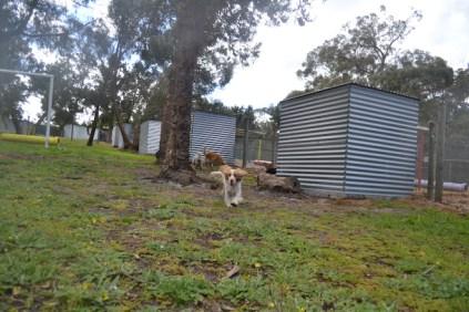 banksia-park-puppies-missy-2-of-40