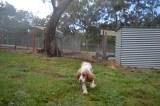 banksia-park-puppies-missy-25-of-40