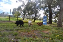 banksia-park-puppies-missy-29-of-40