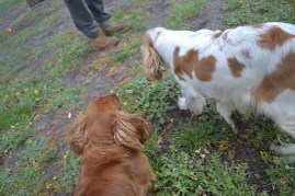 banksia-park-puppies-missy-35-of-40