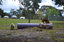 banksia-park-puppies-missy-40-of-40