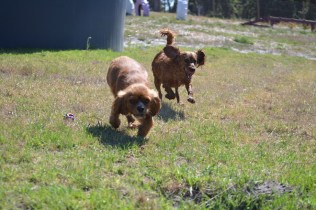 Banksia Park Puppies Willbee - 1 of 54 (2)