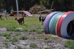 Banksia Park Puppies Willbee - 1 of 54 (24)